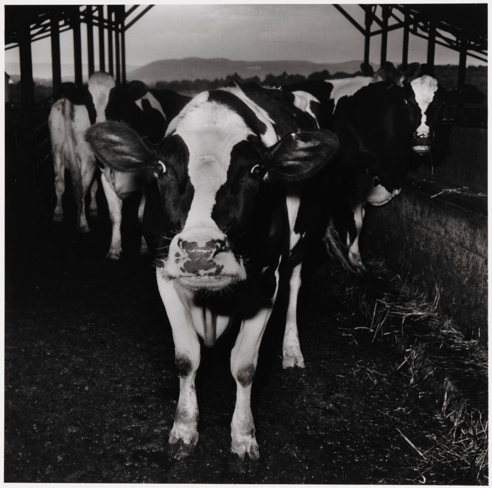 Electric Cow