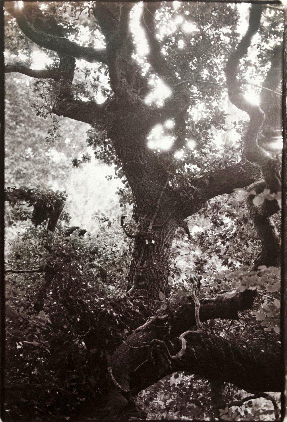 Oak, Cornwall