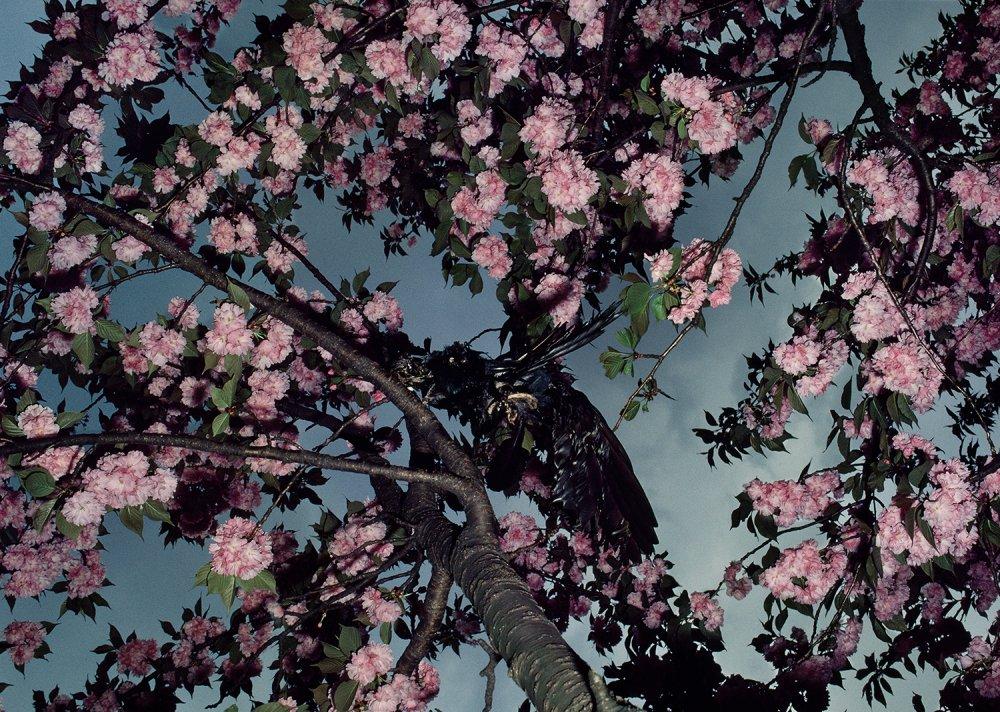 Cherry Blossoms, Shinkuku Gyoen